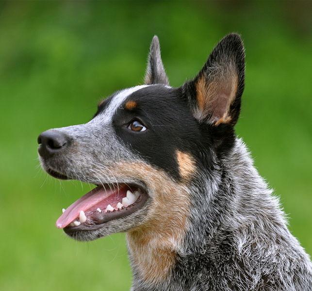 Cattledog eva holderegger walser